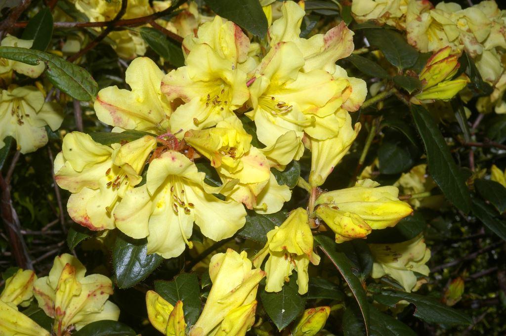 Rhododendron Burmanicum Hybrid Rhododendron Species Botanical Garden