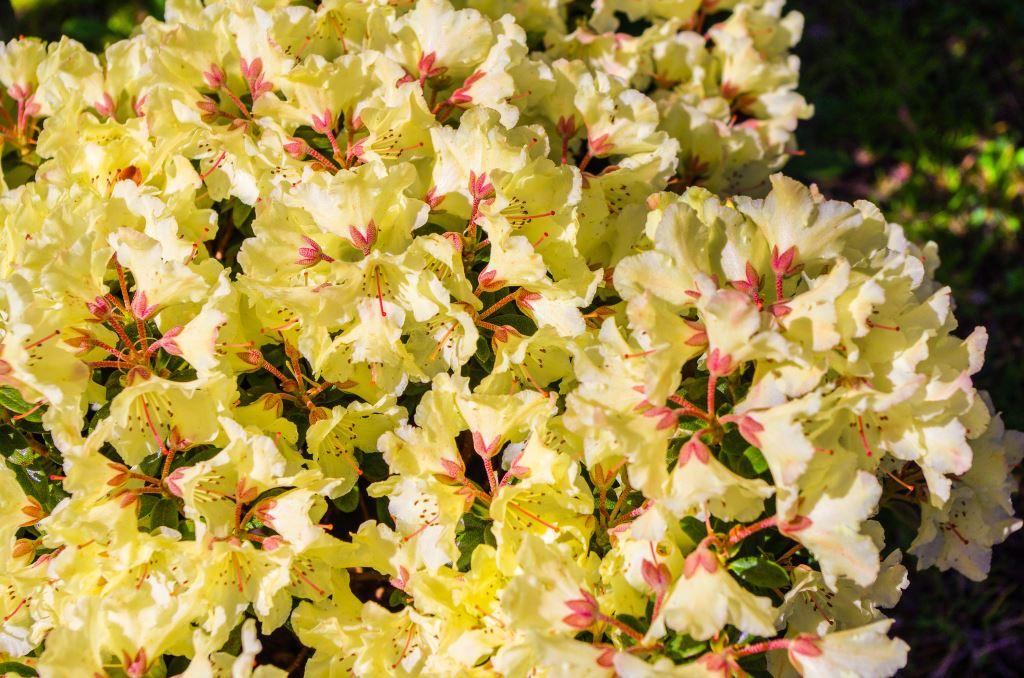 UNUSUAL FLOWERS BLOOMS FAST FROM SEEDS HIMALAYAN HONEYSUCKLE BUSH 174 SEEDS