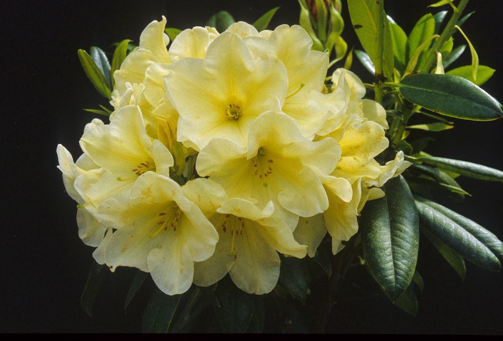 Rhododendron Karen Triplett Rhododendron Species Botanical Garden